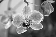 Shades Of Red Framed Prints - Orchid black and white Framed Print by Ramona Matei