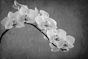 Orchid Bw Print by Hannes Cmarits