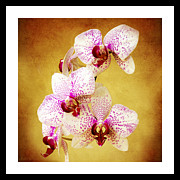 Pink Blossoms Mixed Media Posters - Orchid Cascade Square Poster by Andee Photography