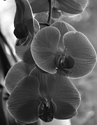 Black And White Photography Painting Metal Prints - Orchid Cluster Metal Print by Kirt Tisdale