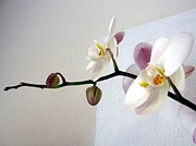 Barbara Yearty - Orchid coming out of...