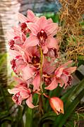 Mike Savad - Orchid - Cymbidium - Vivien hainsworth x trinket