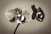 All - Orchid Duality by Hitendra SINKAR