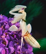 Praying Mantis Photos - Orchid Female Mantis  hymenopus coronatus  9 of 10 by Leslie Crotty