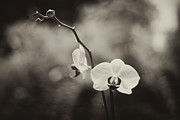Sepia And Cream Framed Prints - Orchid Fine Art Framed Print by Stephanie McDowell
