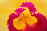 Pretty Orchid Photos - Orchid flower by Becs Mason