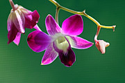 Karen Adams Posters - Orchid Flower Poster by Karen Adams