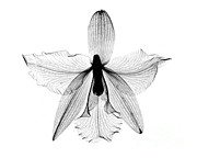 Bert Myers - Orchid Flower X-ray