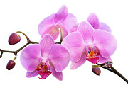 Bathroom Wall Art Framed Prints - Orchid Flowers II - Pink Framed Print by Natalie Kinnear