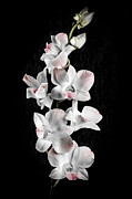 Delicate Art - Orchid flowers on black by Elena Elisseeva