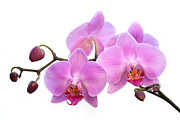 Bathroom Wall Art Framed Prints - Orchid Flowers - Pink Framed Print by Natalie Kinnear