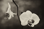 Sepia And Cream Framed Prints - Orchid Flowers Framed Print by Stephanie McDowell