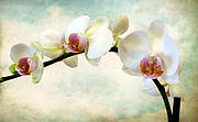 Orchids Digital Art Prints - Orchid Heaven Print by Jessica Jenney