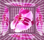 Gabriella Weninger - David - Orchid in case
