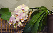 Lynn Hansen - Orchid in Our Kitchen