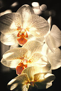 Gail Gates - Orchid Light