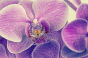 Hannes Cmarits Metal Prints - Orchid Lilac Dark Metal Print by Hannes Cmarits