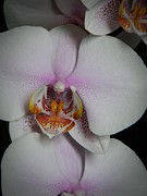 Neurotic Images Photography Prints - Orchid Macro Print by Chalet Roome-Rigdon