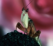 Orchid Cactus Prints - Orchid Male Mantis  hymenopus coronatus  Portait #1 of 9 Print by Leslie Crotty
