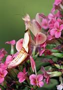 Orchid Mantid Hymenopus Coronatus Print by Robert Jensen