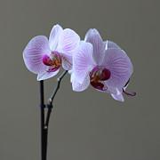 Orchid Print by Marcel Verhaar