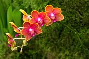 Mike Savad - Orchid - Phalaenopsis - Tying Shin Cupid