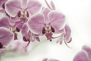 Orchid Pink Vintage Print by Hannes Cmarits