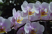 Lena Wilhite - Orchid Plant In Bloom