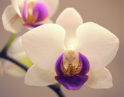 Orchids Photos - Orchid by Rona Black