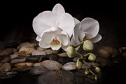 Pebbles Metal Prints - Orchid - Sensuous Virtue Metal Print by Tom Mc Nemar