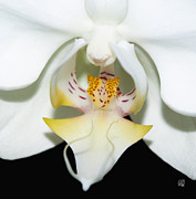 Barbara Middleton - Orchid Splendor