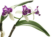 Tropical Photographs Originals - Orchid Study 15 by Marinus Mulder