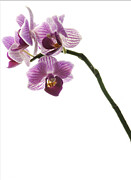 Tropical Photographs Originals - Orchid Study 4 by Marinus Mulder