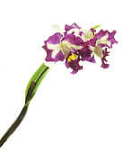 Tropical Photographs Originals - Orchid Study 5 by Marinus Mulder