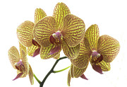 Tropical Photographs Originals - Orchid Study 7 by Marinus Mulder