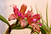 Cluster Prints - Orchid - Tickled pink  Print by Mike Savad