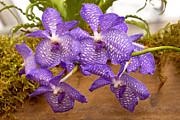 Mike Savad - Orchid - Vanda sansai blue