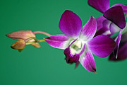 Karen Adams Acrylic Prints - Orchid with Green background Acrylic Print by Karen Adams