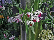 Stephen Snider - Orchids at Longwood
