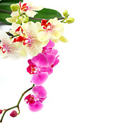 Colour Pyrography - Orchids by Boon Mee
