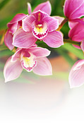 Close Up Floral Posters - Orchids Poster by Carlos Caetano