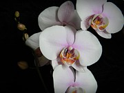 Neurotic Images Photography Prints - Orchids Print by Chalet Roome-Rigdon