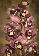 Kerri Ligatich Prints - Orchids - Cymbidium  Print by Kerri Ligatich