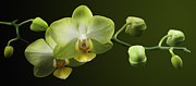 Orchids Print by Marc Huebner