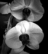 Neurotic Images Photography Prints - Orchids Monochrome Print by Chalet Roome-Rigdon