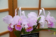 Orchids - Us Botanic Garden - 011315 Print by DC Photographer