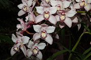 United Metal Prints - Orchids - US Botanic Garden - 011328 Metal Print by DC Photographer