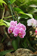 United Metal Prints - Orchids - US Botanic Garden - 011340 Metal Print by DC Photographer