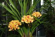 Orchids - Us Botanic Garden - 01137 Print by DC Photographer
