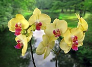 Yello Prints - Orchids-Wellness Print by Manfred Lutzius